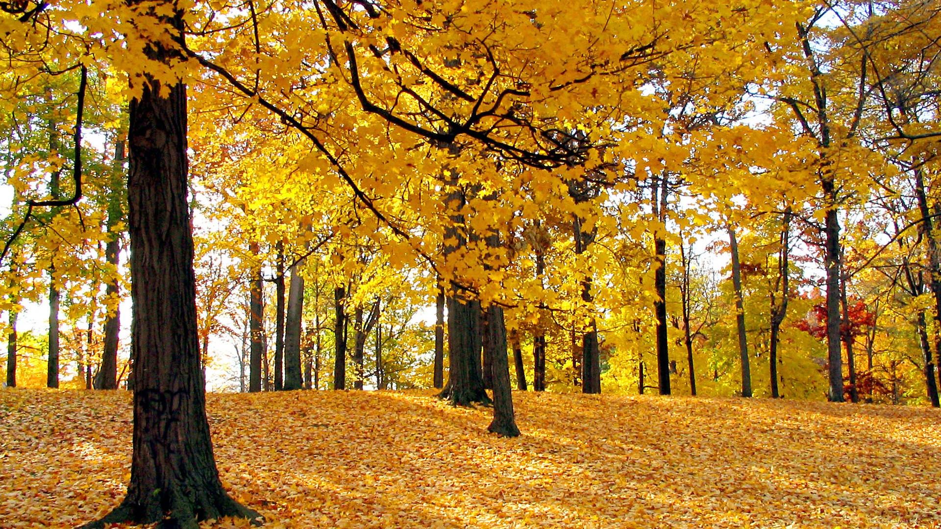 Желтый-лес-2